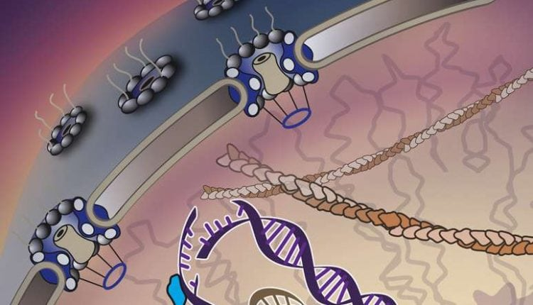 """'Walking molecules"""" haul away damaged DNA to the cell's emergency room 