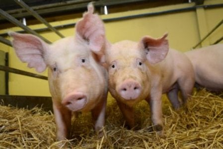 Gene-edited pigs are resistant to billion-dollar virus | Tech News