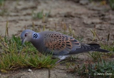 Garden seed diet for threatened turtle doves has negative impact | Tech News