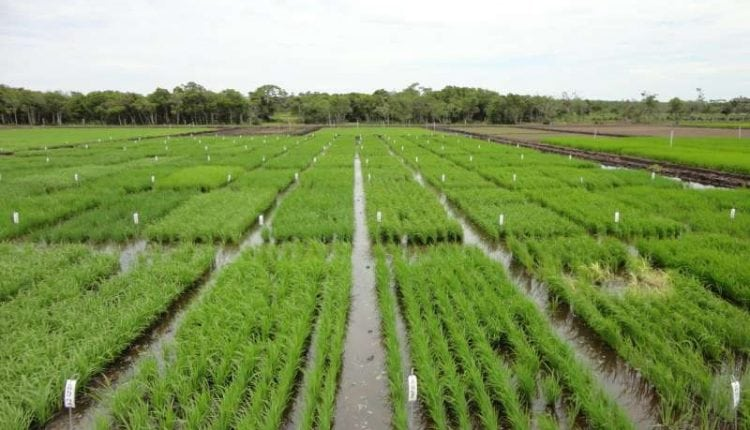 Breeding better Brazilian rice | Tech News