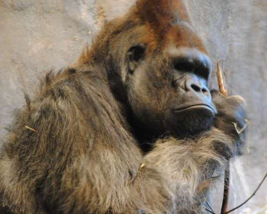 Improved ape genome assemblies provide new insights into human evolution | Tech News