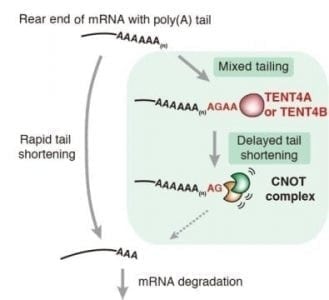 Mixed mRNA tails act like a shield that delays its shortening | Tech Blog