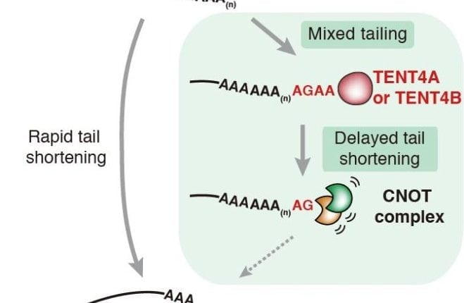 Mixed mRNA tails act like a shield that delays its shortening | Bio Tech