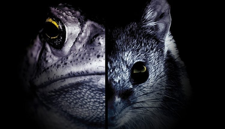 How dodgy sausages are saving a cute marsupial from toxic toads | AI
