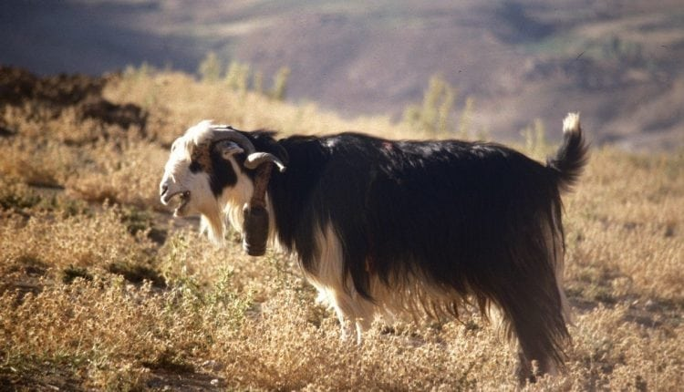 Ancient genome analyses reveal mosaic pattern of goat domestication thousands of years ago | Bio Tech