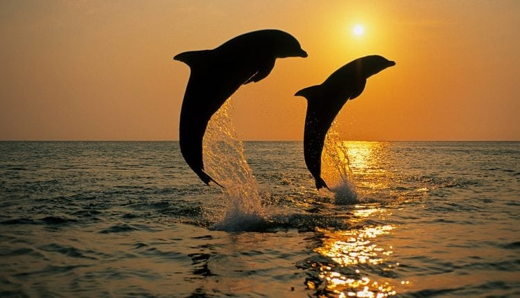 Four ways dolphins are amazing – and one way they're not   Innovation Tech