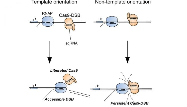Biochemists discover cause of genome editing failures with hyped CRISPR system | Bio Tech