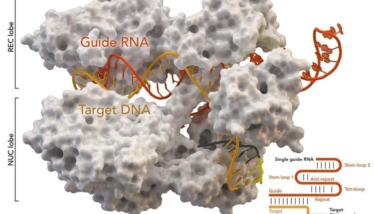 Genome damage from CRISPR/Cas9 gene editing higher than thought | Tech Blog