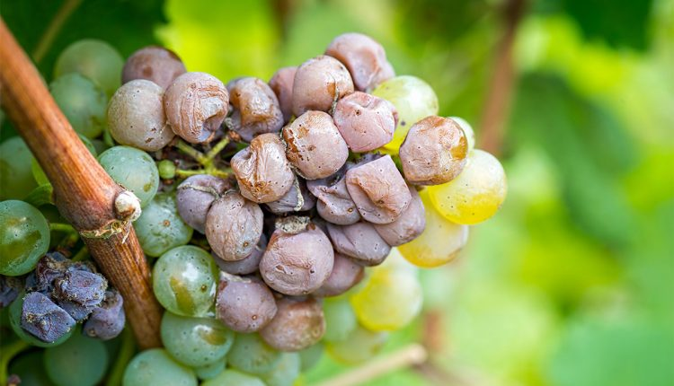 AI camera to help spot the best grapes for making pesticide-free wine | Innovation