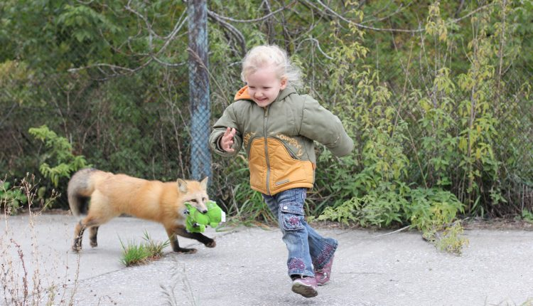 Sequenced fox genome hints at genetic basis of behavior   Tech Science