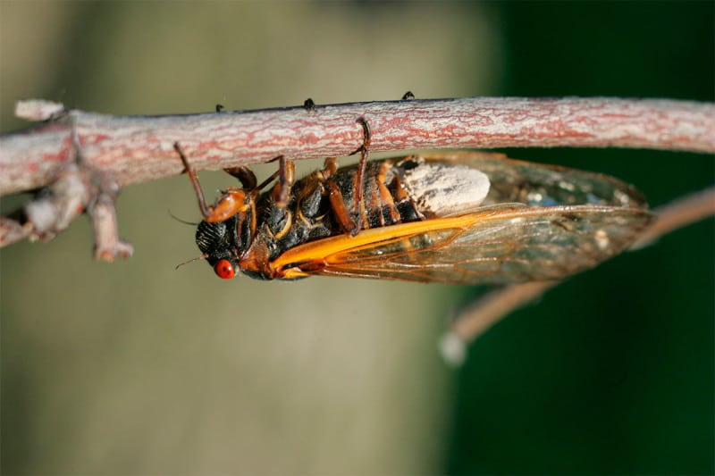 The cicadas become'hypersexual' once infected