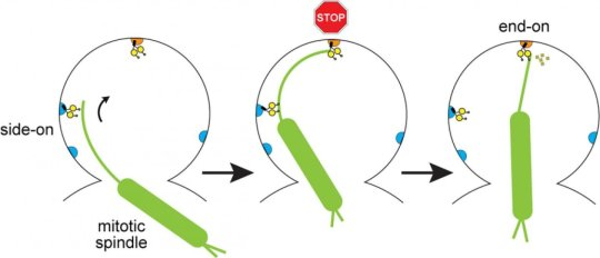 Pulling and braking of 'ancient motor' in cell division | Tech Science