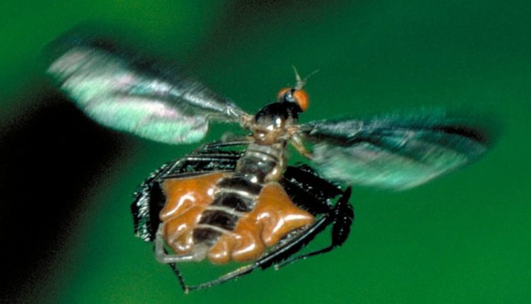 Dance flies attract males with their hairy legs and inflatable sacs | Artificial intelligence