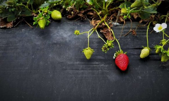 Jumping genes drive sex chromosome changes in strawberries | Digital Science