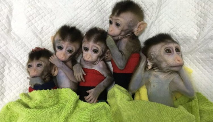 Cloning monkeys for research puts humans on a slippery ethical slope